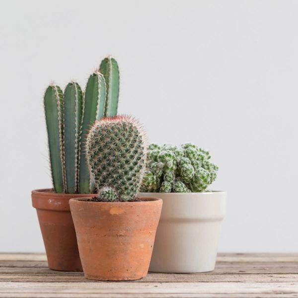 روش نگهداری از کاکتوس در خانه