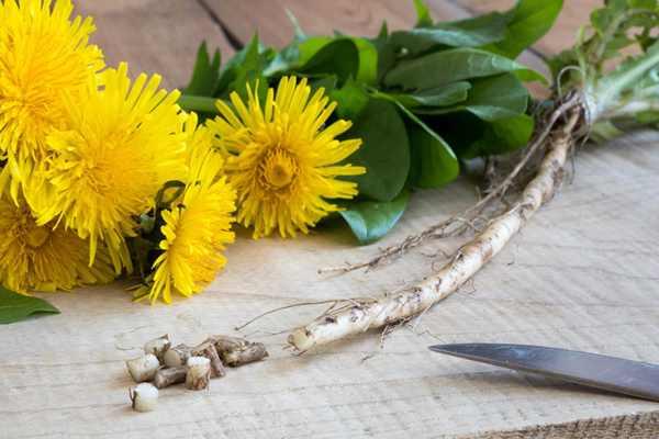 خواص ریشه قاصدک برای سلامتی