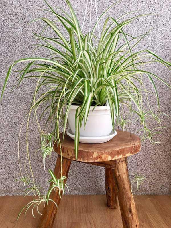 روش پرورش و نگهداری گل گندمی در منزل